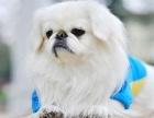 三明外形像一头小狮子 高贵优雅的京巴犬 广受大众喜爱