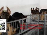 绵阳哪里有卖纯种德牧黑色德牧幼犬出售赛级弓背德牧犬舍
