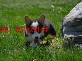 衢州三个月大的柯基犬哪里卖双血统柯基犬柯基养殖场