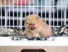 西宁市巨型红色贵宾犬巨贵的价格是多少巨贵多少钱