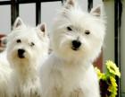 黄山最长情的相伴 西高地犬您的爱犬 给它一个温暖的家