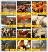 改良肉牛犊价格shandong肉牛犊价格周口市那里有肉牛犊卖