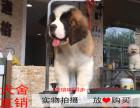南昌最长情的相伴 圣伯纳犬您的爱犬 给它一个温暖的家