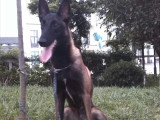 三明马犬 最长情的相伴 您的爱犬 给它一个温暖的家