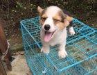 东方哪里卖柯基犬纯种柯基多少钱双色柯基的价格是多少