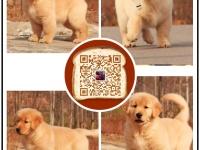 温顺的金毛巡回犬,赛级品质,签协议,健康血统有保