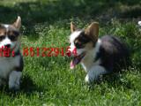 惠州哪里有卖双色柯基单血统柯基犬健康纯种 包存活