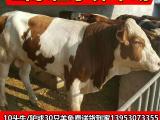 育肥肉牛犊种牛2018西门塔尔肉牛犊价格肉牛牛犊买哪里有