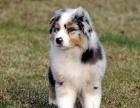 平顶山最长情的相伴 喜乐蒂犬您的爱犬 给它一个温暖的家
