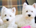 青岛最长情的相伴 西高地犬您的爱犬 给它一个温暖的家