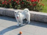 东莞纯种萨摩耶 萨摩耶幼犬 保健康 全国最低价