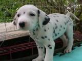 绵阳斑点狗狗 黑白分明 易训可爱 陪伴您左右