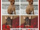 南充最长情的相伴 小鹿犬您的爱犬 给它一个温暖的家