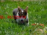 新乡哪里有卖双色柯基赛级柯基犬幼犬健康纯种 包存活