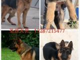 银川哪里有卖黑狼犬的,黑狼犬多少钱一只