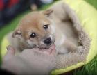 厦门哪里卖柴犬哪里有纯种柴犬卖日系柴犬价格