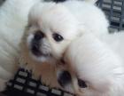 重庆外形像一头小狮子 高贵优雅的京巴犬 广受大众喜爱