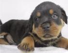 玉树警犬方面广受好评的罗威纳 聪明易训最佳的护卫犬