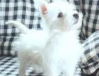 咸阳最长情的相伴 西高地犬您的爱犬 给它一个温暖的家