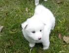 沈阳最长情的相伴 银狐犬您的爱犬 给它一个温暖的家