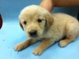 保定买一只金毛幼犬多少钱