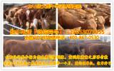 改良育肥肉牛犊自贡小肉牛犊价格杂交西门塔尔肉牛犊价格