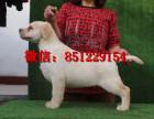 万宁拉布拉多出售信息,赛级拉布拉多价格,拉布拉多幼犬图片