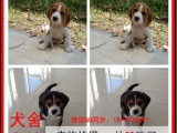 三明最长情的相伴 比格犬您的爱犬 给它一个温暖的家