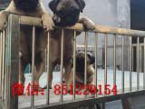 宜昌哪里有卖巴哥犬哪里有宠物店三针疫苗 驱虫做好