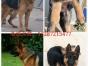 承德出售双血统精品卡斯罗,罗威纳 比特犬等,联系电话1328