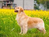 邯郸买一只金毛幼犬多少钱