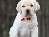 鄂尔多斯电视神犬小七同款拉布拉多 家庭伴侣犬