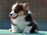 太原哪里出售纯种双色三色柯基幼犬柯基图片