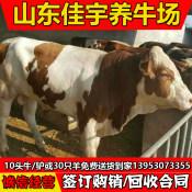 上饶哪里有肉牛犊出售上海肉牛犊价格东北肉牛牛犊养殖