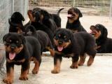 九江警犬方面广受好评的罗威纳 聪明易训最佳的护卫犬