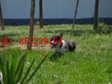 珠海哪里有卖双色柯基便宜的柯基犬柯基养殖场