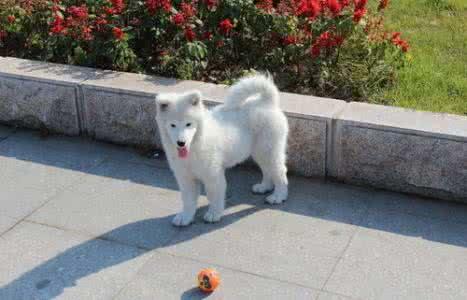 纯种萨摩耶 萨摩耶幼犬 保健康 全国最低价