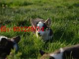 徐州哪里有卖双色柯基纯种柯基犬幼犬出售柯基犬繁殖基地