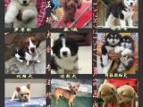 自家繁育出售拉布拉多犬包纯种健康有保障