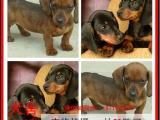 潮州最长情的相伴 腊肠犬您的爱犬 给它一个温暖的家