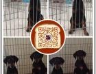 连云港繁殖出售精品杜宾犬 结构完美优异 基因血统稳定