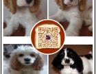 湛江专业繁殖纯种美可卡幼犬赛级品相毛色发亮顺保健康