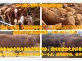 鲁西肉牛牛犊2018年的肉牛犊价格表选好肉牛犊