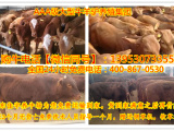 肉牛犊出售信息2018山西肉牛犊价格肉牛犊市场价格