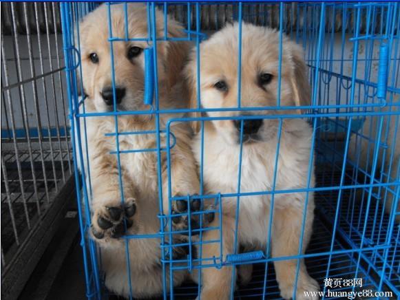 芜湖纯种金毛 保健康 全国最低价 哪里有卖金毛的