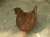 淮阳哪里有卖肉鸽的,肉鸽价格,出售各种观赏鸽元宝鸽等
