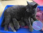 纯种 家养 高品质英短蓝猫 英国短毛猫