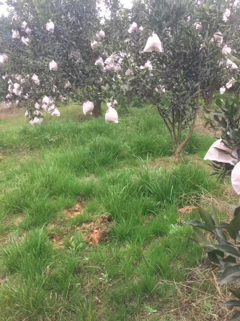 蒲江柑橘采摘园