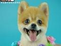 青岛宠物美容,宠物美容培训,宠物美容师