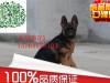 出售纯种德国牧羊犬幼